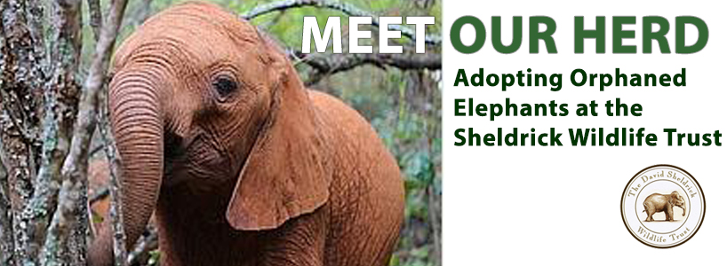 Meet Our Herd. Adopting orphaned elephants at the Sheldrick Wildlife Trust